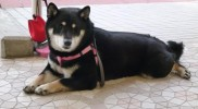 P1020238黒柴犬
